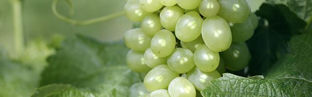 Polifenóis da semente de uva